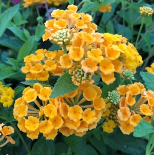 Lantana Plants For Sale Free Shipping