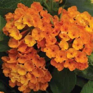 Lantana Plants For Sale Free Shipping