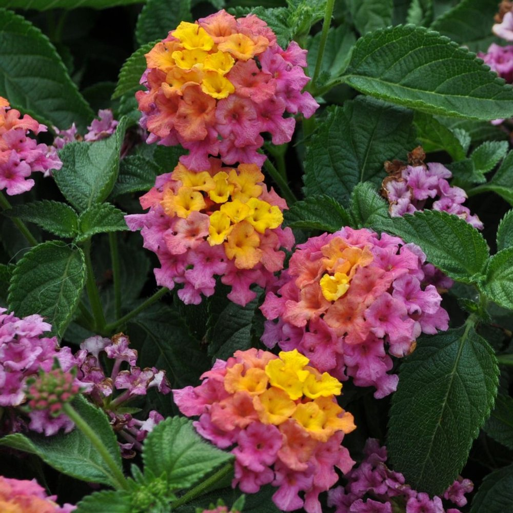 Bandana Rose Lantana Plants For Sale Free Shipping