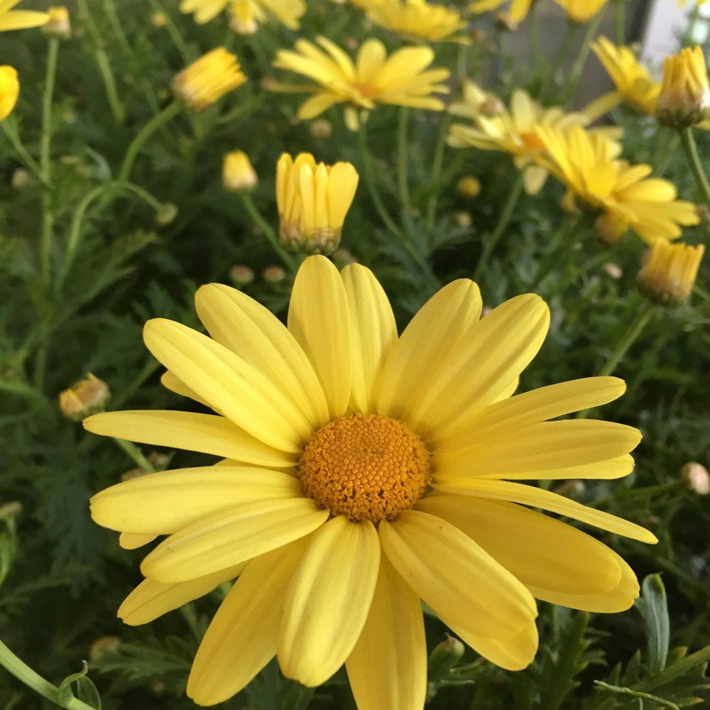 The meaning and symbolism of the word - «Daisy»