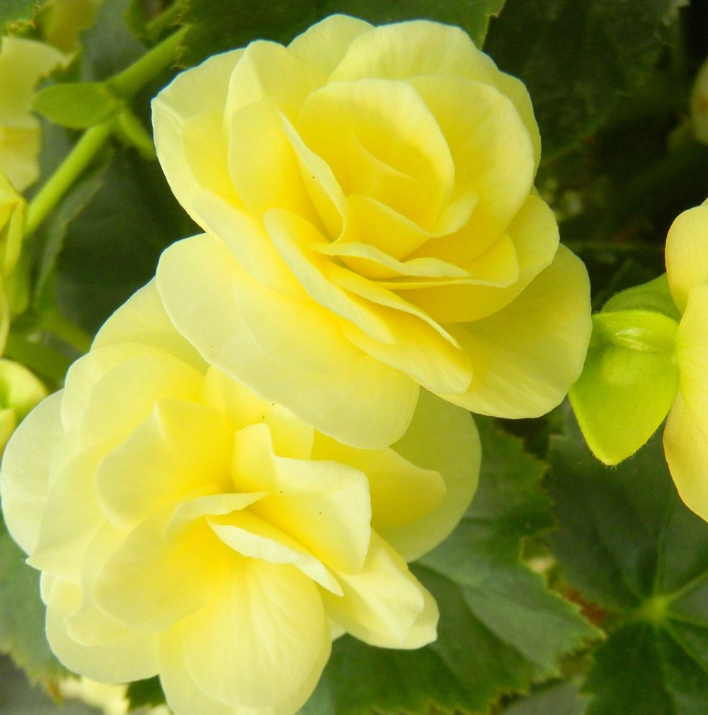 Solenia light yellow rieger begonia plant growjoy solenia light yellow rieger begonia plant mightylinksfo