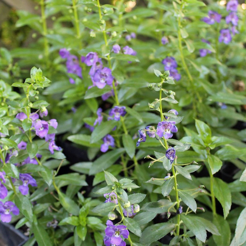 Big Blue Alonia Angelonia Plant Summer Snapdragon Growjoy Com