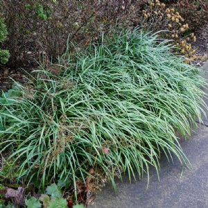 Big Blue Liriope Grass Plant Growjoycom