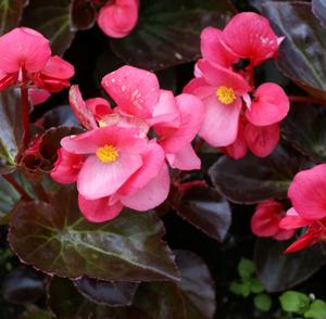 Big Rose With Bronze Leaf Begonia Live Plant 2 5 Inch Pot