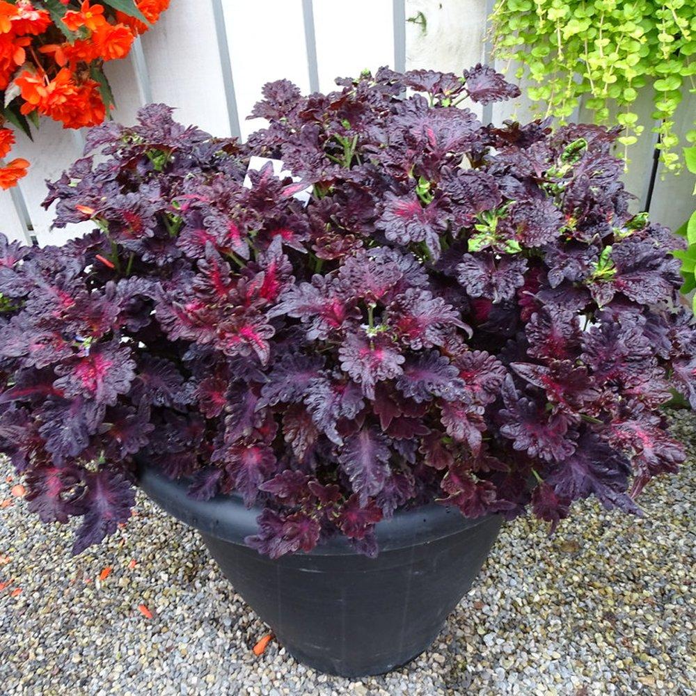 Black Dragon Coleus Plant