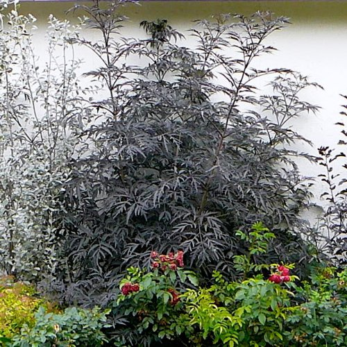 black lace elderberry live plant 4 5 inch pot. Black Bedroom Furniture Sets. Home Design Ideas