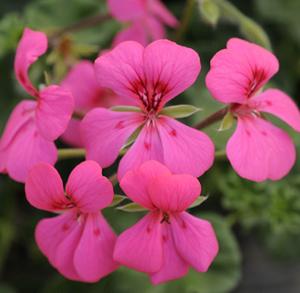 Blizzard pink ivy geranium live plant 25 inch pot mightylinksfo