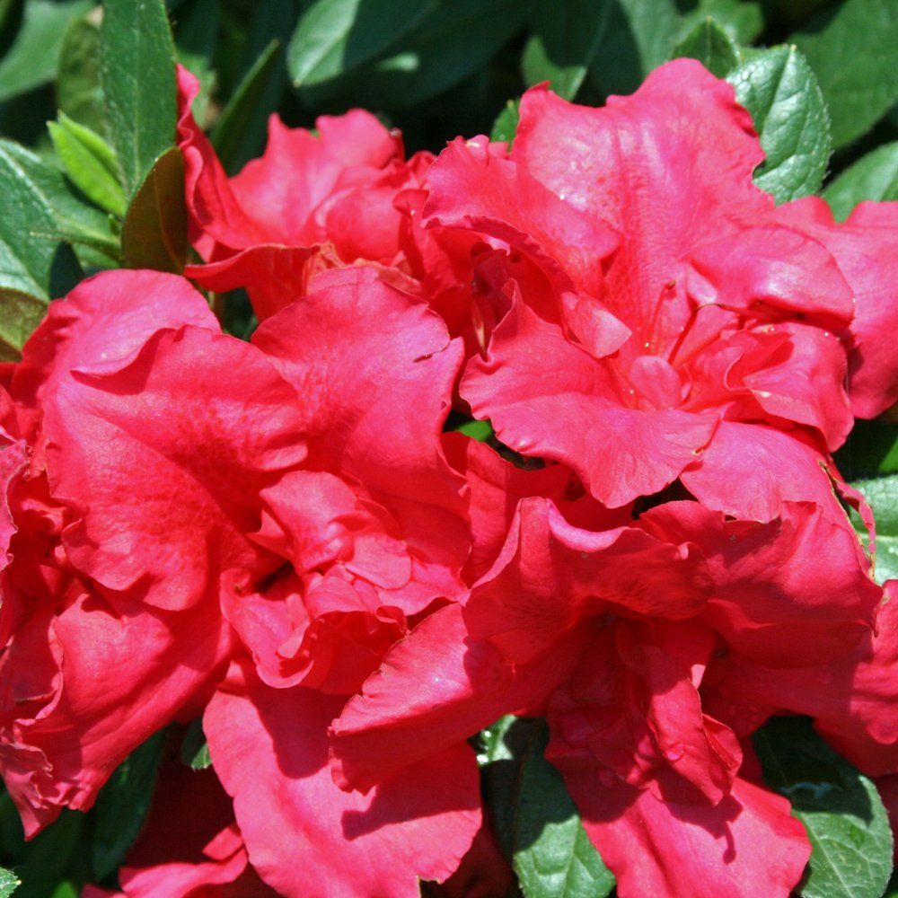 Bloom A Thon Red Rhododendron Plants For Sale Reblooming Azalea