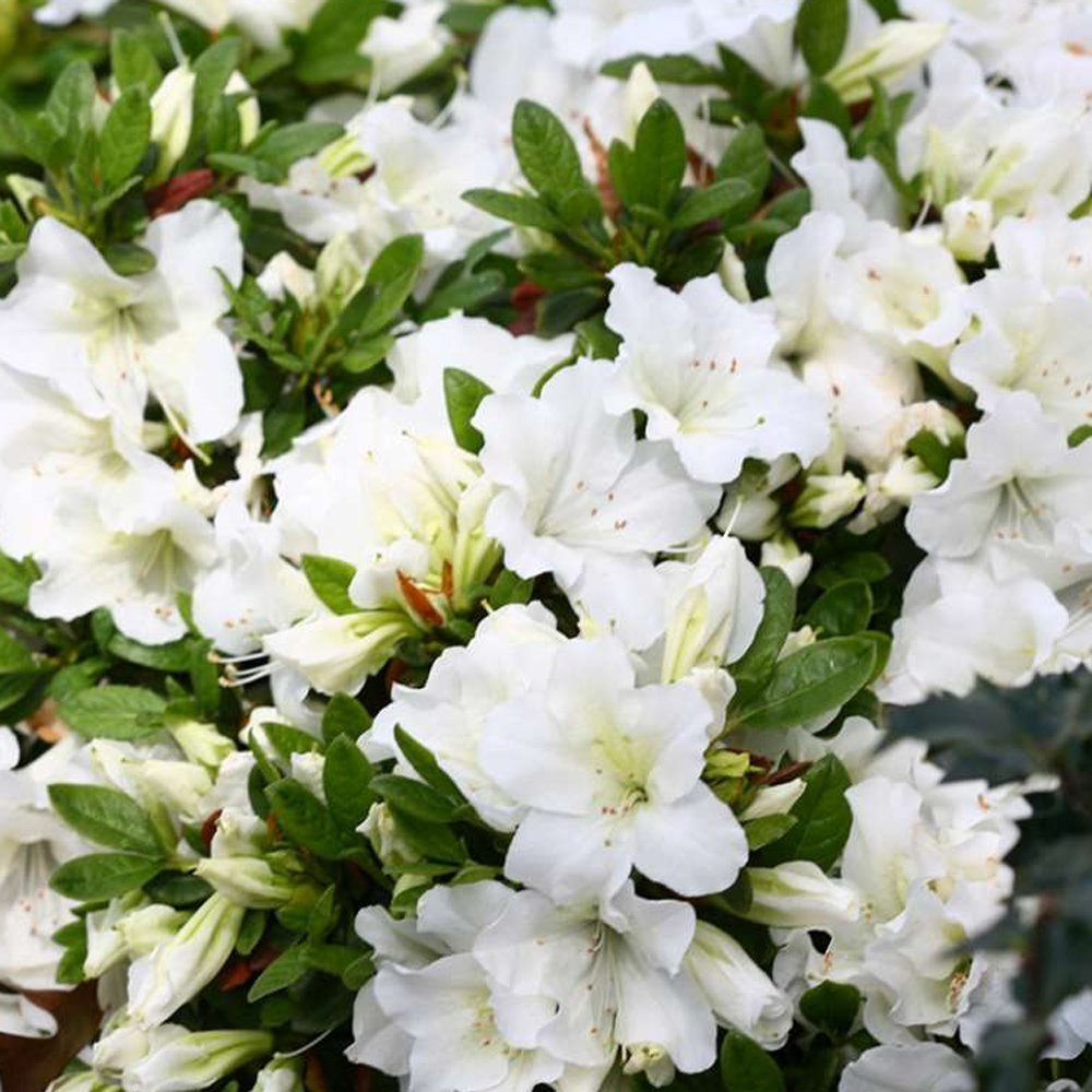 Bloom A Thon White Rhododendron Plants For Sale Reblooming