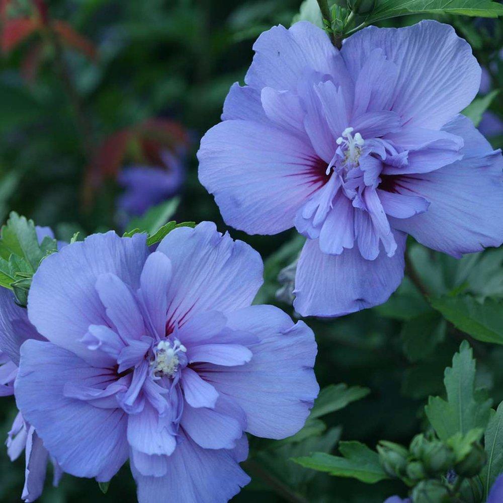 Blue Chiffon Rose Of Sharon Plant Growjoycom