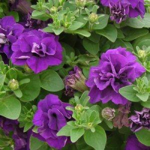 Wave Petunia Plants For Sale