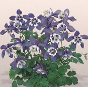 Columbine Plant Aquilegia Plants For Sale Growjoy Com