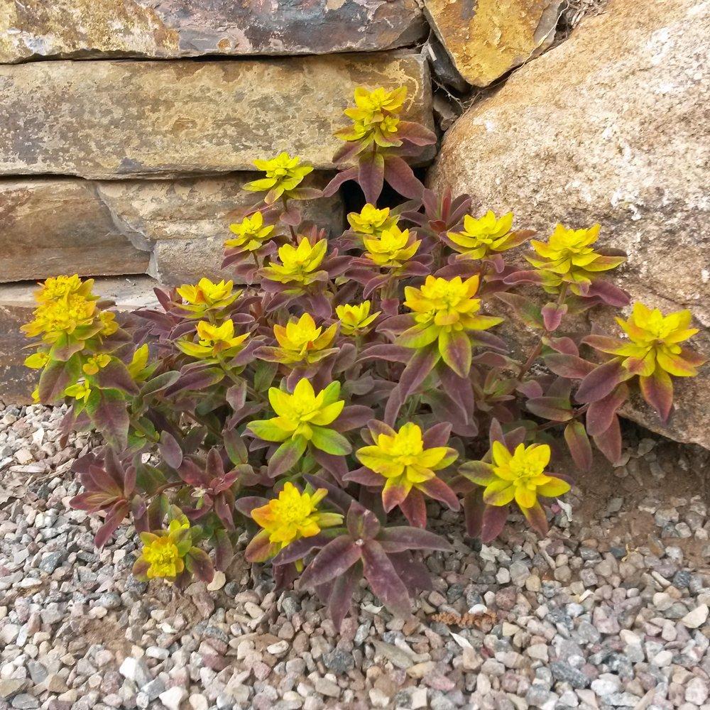 Bonfire Euphorbia Plants For Sale Spurge Free Shipping