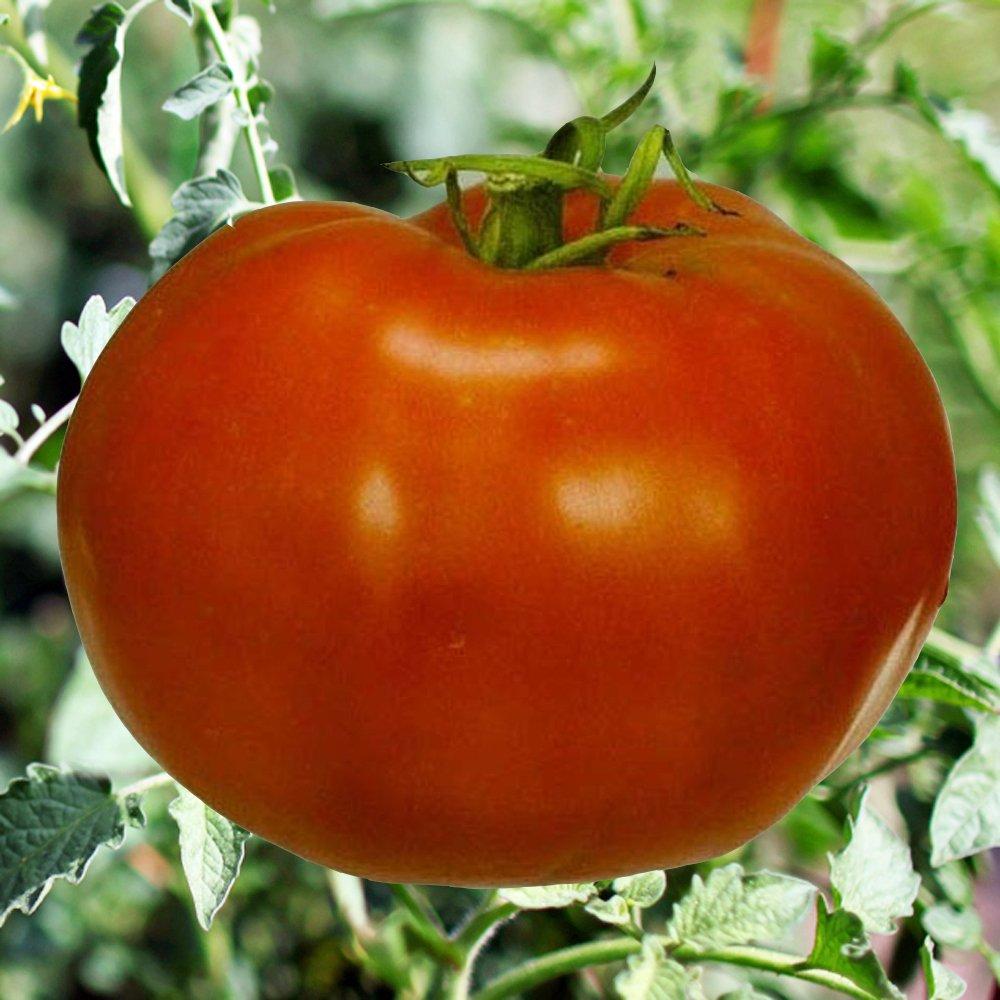 Boxcar Willie Tomato Plant