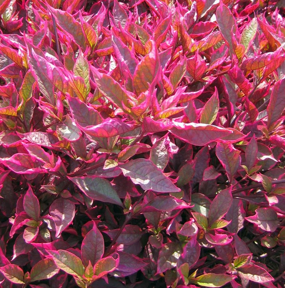 "Picture of Live Joseph's Coat  aka Alternanthera Brazilian Red Hots Plant Fit 4"" Pot"