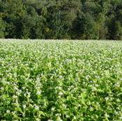 buckwheat seed for cover crops