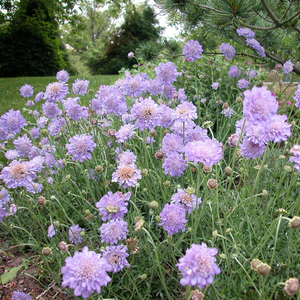 Butterfly Blue Scabiosa Plants For Sale Pincushion Flower Free Shipping