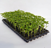 100 count tray of pepper plants
