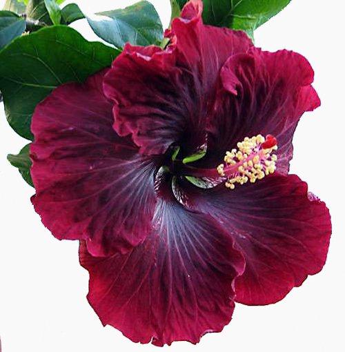 Black Dragon Cajun Hibiscus Plant Growjoy
