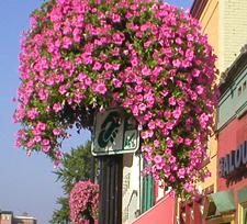cascadias petunia