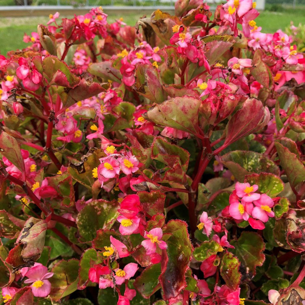 Charm Pink Wax Begonia Plant Free Shipping