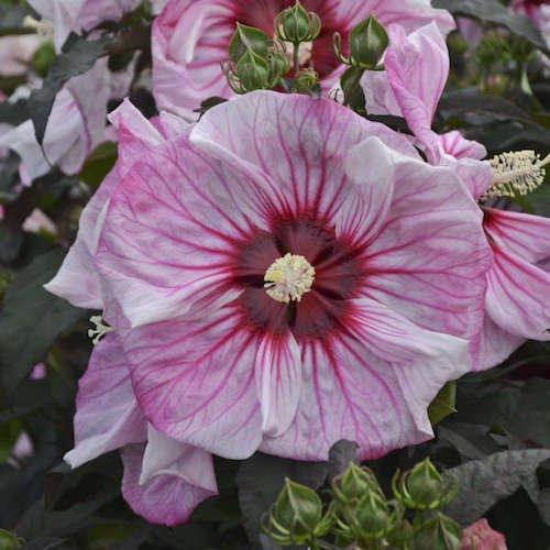 Summerific Cherry Choco Latte Hardy Hibiscus (Live Plant ...