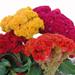 Cockscomb Mix - Celosia Plant