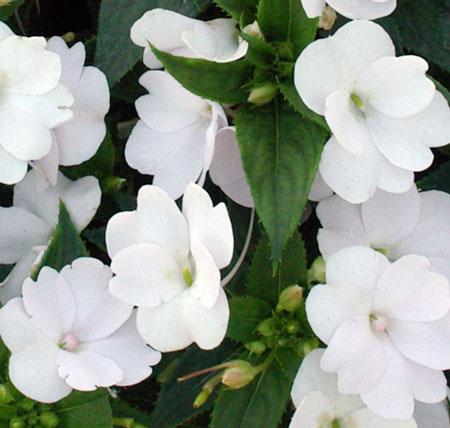 SunPatiens Compact White Impatiens (Live Plant) 2.5-Inch Pot White Impatiens Flowers