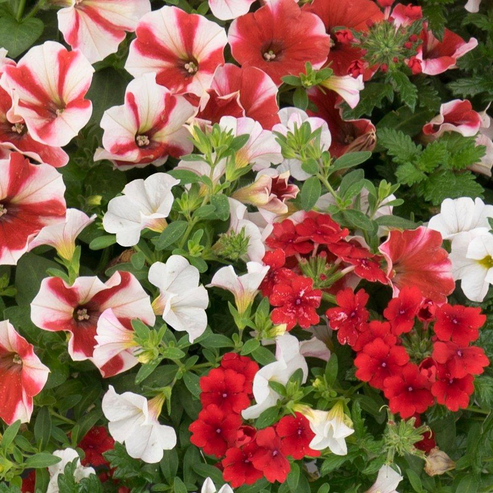 Confetti Garden™ Peppermint Candy Flower Plants ...