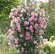 Rocktrumpet Mandevilla Plants For Sale Growjoy Com