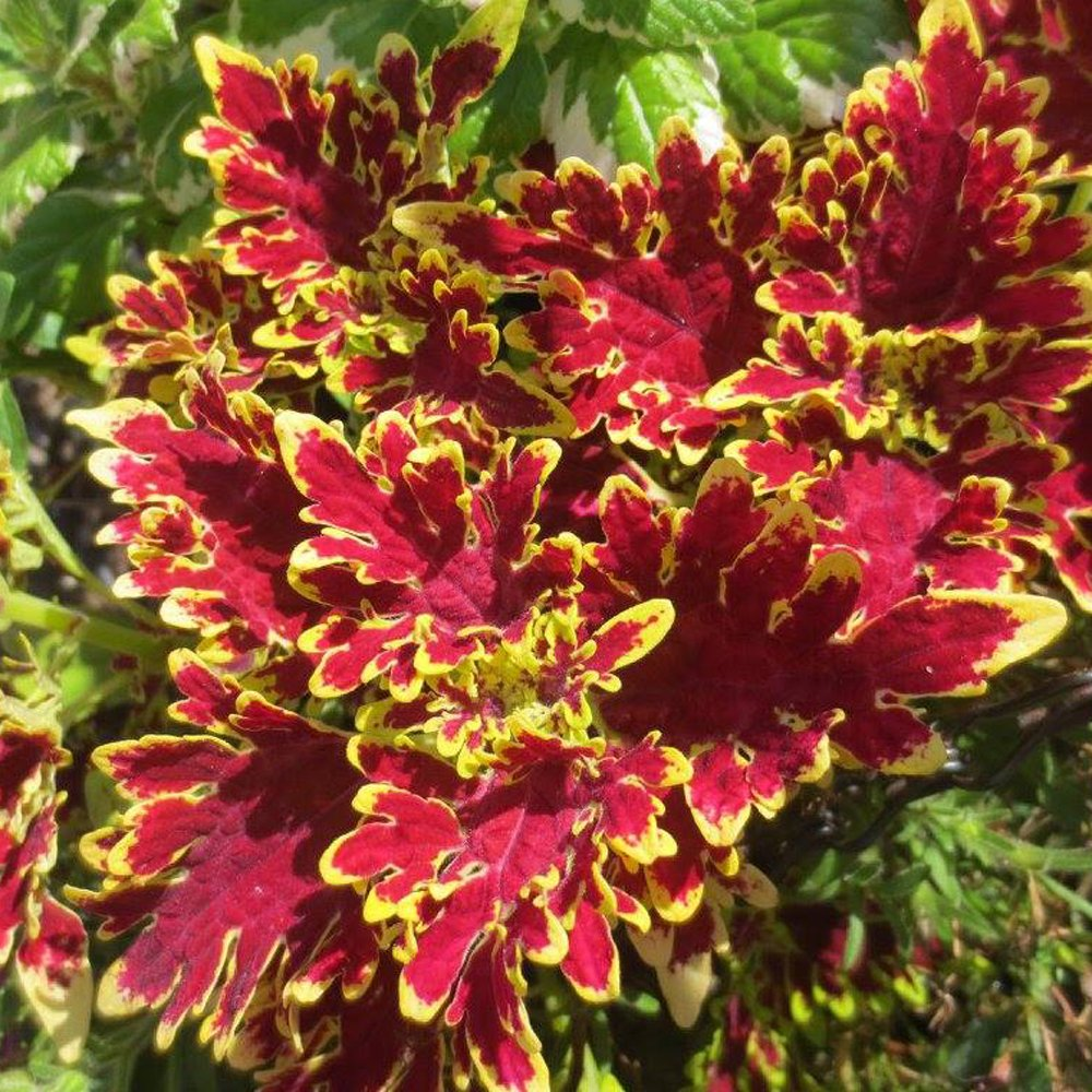 Curly Hot Pink And Green Coleus Plant