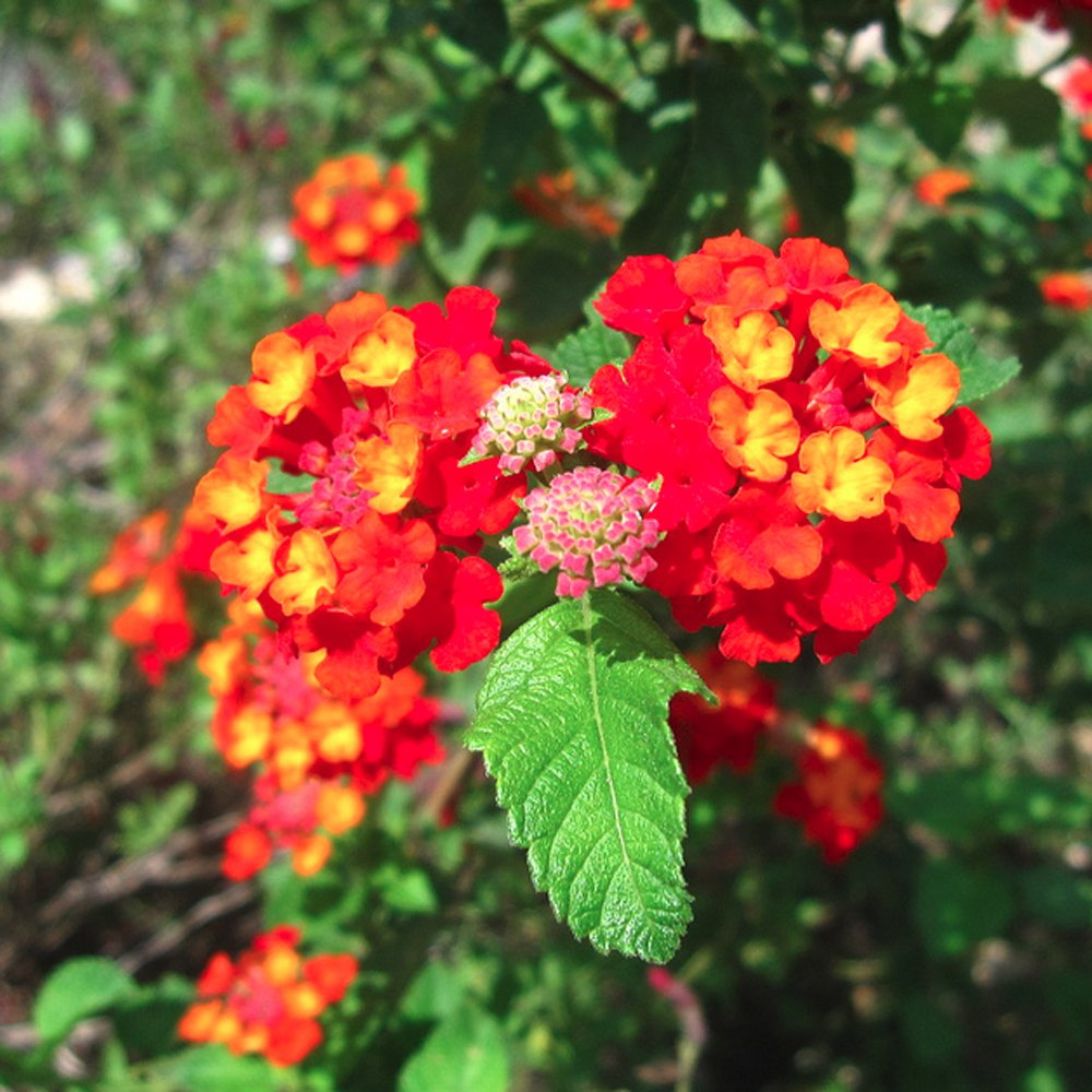 Dallas Red Lantana Plants For Sale Free Shipping