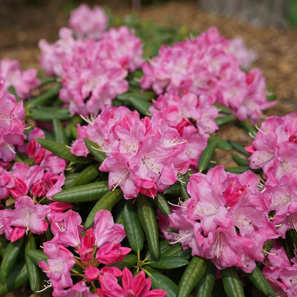 Dandy Man Pink Rhododendron Plants For Sale Cold Hardy Azalea