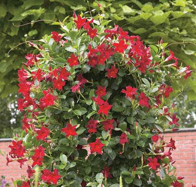 Sun Parasol Original Dark Red Rocktrumpet Mandevilla Plant