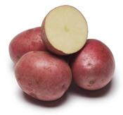 dark red norland seed potato