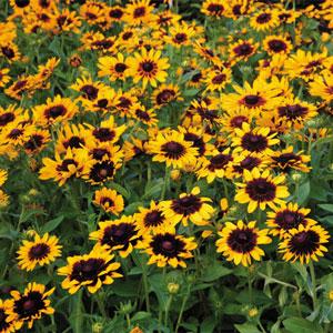 La flore Denver_daisy_M