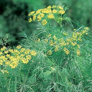 Dill-Fernleaf Herb (Live Plant) 2.5-Inch Pot