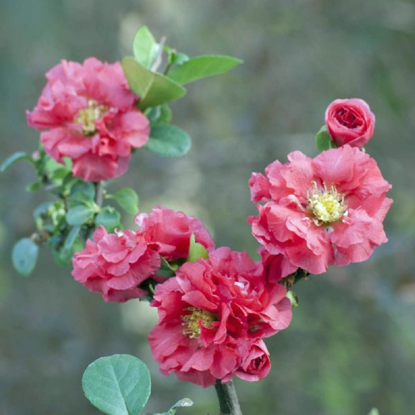 Double Take™ Pink Storm Chaenomeles Plants For Sale