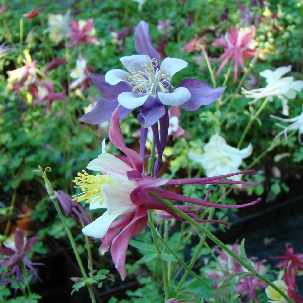 Dragonfly Hybrids Aquilegia Plants For Sale Columbine Free
