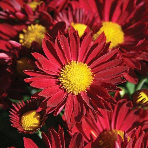 Yoder Garden Mum | Edana Red | Chrysanthemum Plant   2.5 Inch Pot