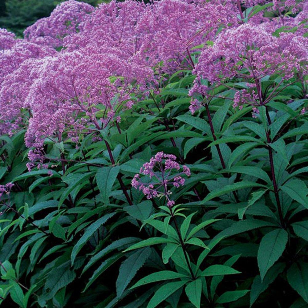 Gateway Eupatorium Plants For Sale Joe Pye Weed Free Shipping