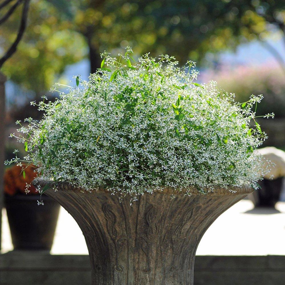 Breathless White Euphorbia Plant