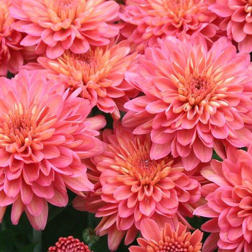 Yoder Garden Mum | Fiona Coral Orange | Chrysanthemum Plant   2.5 Inch Pot