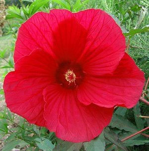 Fireball Hardy Hibiscus Plants For Sale Rose Mallow Free Shipping