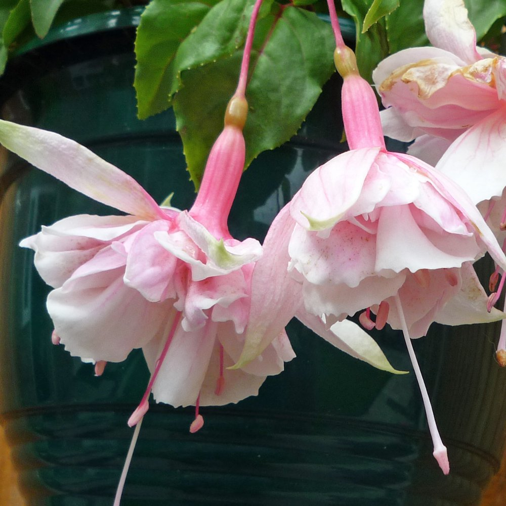 Pink Marshmallow Fuchsia Plant