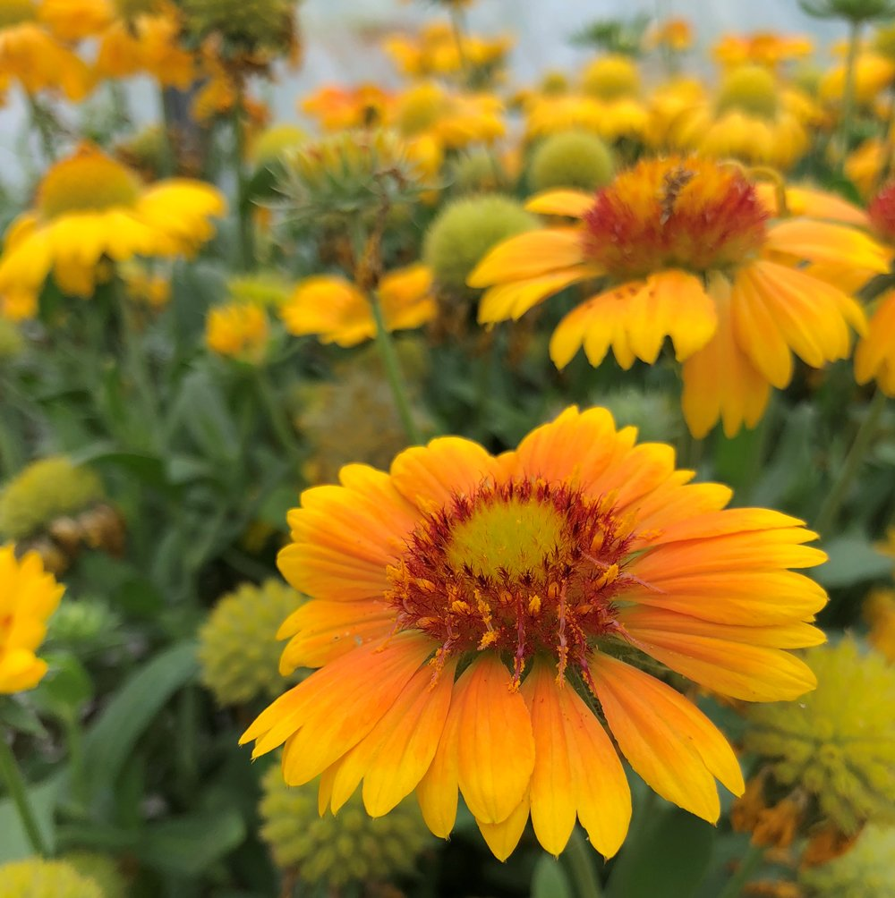 Arizona Apricot Blanket Flower Gaillardia Plant Growjoy