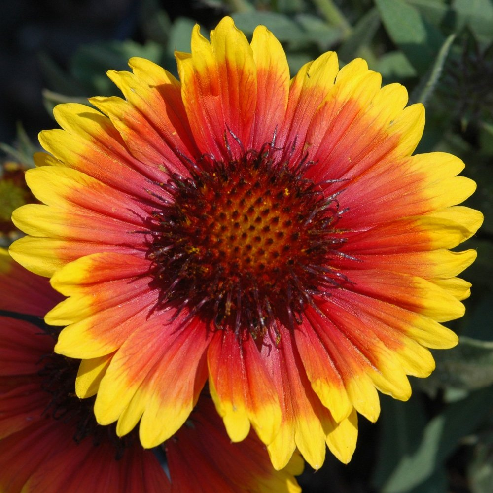 Arizona Sun Blanket Flower Gaillardia Plant Growjoy