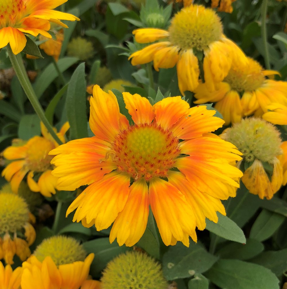 Gallo Peach Blanket Flower Gaillardia Plant Growjoy
