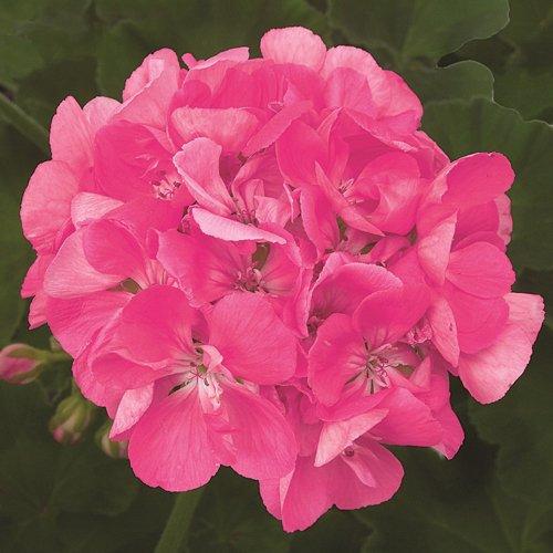 Patriot bright pink geranium live plant 25 inch pot mightylinksfo