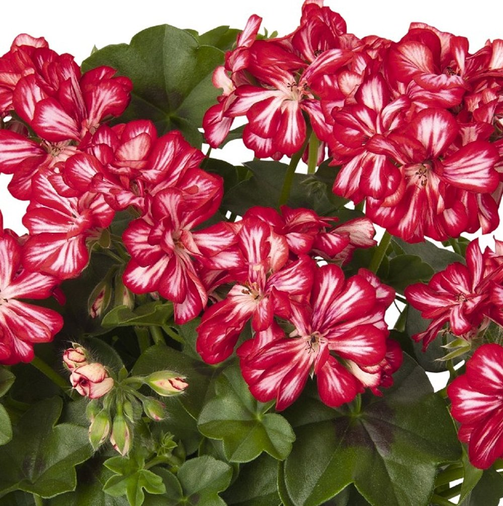 Global Stars And Stripes Ivy Geranium Plants For Sale Free Shipping